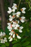 Black Locust, False Acacia or Robinia pseudoacacia blooming close-up, selective focus, shallow DOF.  Stock Images