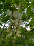 Black Locust flowers closeup macro Royalty Free Stock Image