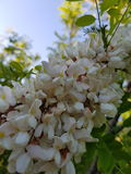 Black Locust flowers closeup macro Stock Photo