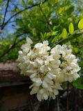 Black Locust flowers closeup macro Royalty Free Stock Photo