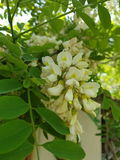 Black Locust flowers closeup macro Royalty Free Stock Photos