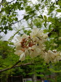 Black Locust flowers closeup macro Stock Photos