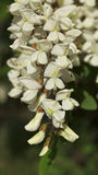 Black locust flowers Royalty Free Stock Images