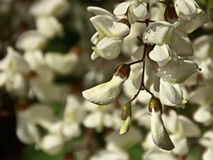 Black locust flowers Stock Images