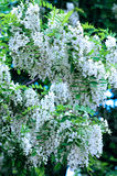 Black locust flowers Royalty Free Stock Images