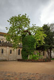 Black locust - the oldest tree in Paris, Square Rene Viviani. Stock Photos