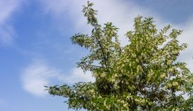 Black locust Robinia pseudoacacia in blossom in spring. With blue sky in background Royalty Free Stock Photos