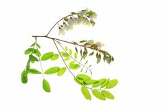 Black locust (Robinia pseudoacacia) Royalty Free Stock Photos