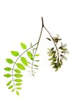 Black locust (Robinia pseudoacacia) Stock Photography