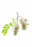 Black locust (Robinia pseudoacacia) Royalty Free Stock Photography