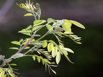 The black locust Robinia pseudoacacia. Flower edible and medicinal properties Stock Photography