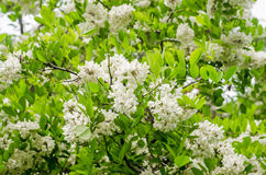 Black locust tree flowers Stock Images
