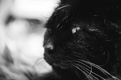 Black Long Coat Cat Grayscale Photography Stock Photo