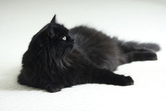 A black long hair cat on white carpet. A furry black cat with green eyes is comfortably resting on white carpet Stock Image