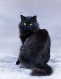 Black long-haired cat. Outdoor portrait of black long hair cat Stock Image