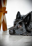 Black Long haired German Shepherd . Shepherd waits for commands from the owner Royalty Free Stock Photo