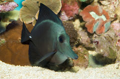 Black Longnose Sailfin Tang Stock Photography