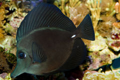 Black Longnose Sailfin Tang Stock Photos