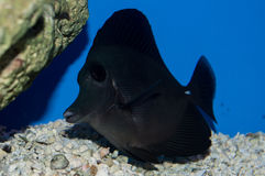 Black Longnose Tang. The Black Longnose Tang, also known as the Longnose Sailfin Tang or the Longnose Surgeonfish, has a jet black oval body with blue pectoral Royalty Free Stock Image