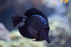 Black longnose tang (Zebrasoma rostratum) Royalty Free Stock Photography
