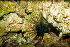 Black Longspine Urchin Royalty Free Stock Images