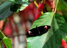 Black longwing butterfly Stock Photos