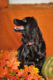 Black lop-eared dog. On an orange background with pumpkin and autumn leaves Stock Image