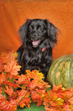 Black lop-eared dog. On an orange background with pumpkin and autumn leaves Royalty Free Stock Images