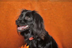 Black lop-eared dog Royalty Free Stock Photos