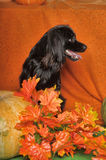 Black lop-eared dog. On an orange background with pumpkin and autumn leaves Royalty Free Stock Photos