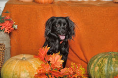 Black lop-eared dog. On an orange background with pumpkin and autumn leaves Stock Photography