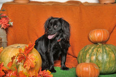 Black lop-eared dog. On an orange background with pumpkin and autumn leaves Royalty Free Stock Photo