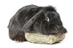 Black lop-eared rabbit. On a white background Stock Image