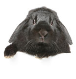 Black lop-eared rabbit portrait Stock Image