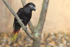 Black lory Stock Photo