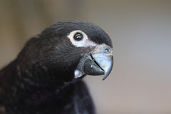 Black lory Stock Photos