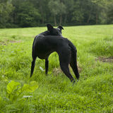 Black lurcher dog in field Royalty Free Stock Photos