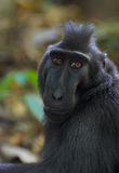 Black macaque. Crested black macaque in Tangkoko forest (North Sulawesi; Indonesia Stock Images