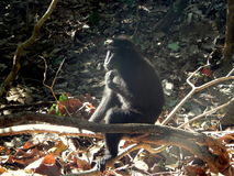 Black macaque, alone and think Royalty Free Stock Photography