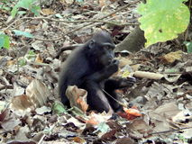 Black macaque, lunch time Stock Photography
