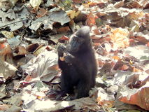 Black macaque, lunch time Stock Image