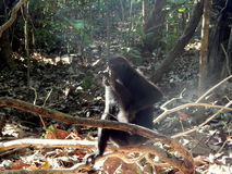 Black macaque, sitting alone on the branch Royalty Free Stock Image