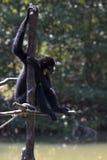 Black macaque Stock Photos