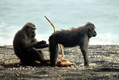 Black Macaques on the Shore Stock Photo