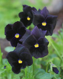 Black Magic Pansy Stock Photos