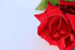 Black Magic Rose Royalty Free Stock Photography