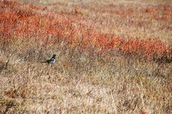 A black magpie in autumn prairie Royalty Free Stock Image