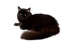 Black maine coon cat Stock Image