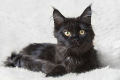 Black maine coon cat posing on white background fur Royalty Free Stock Photos