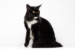 Black Maine Coon Cat Sitting , Looking back, on White Background Royalty Free Stock Image